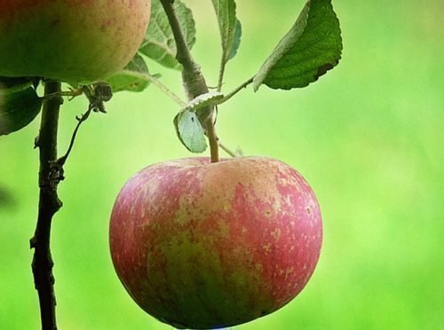 Яблоко на дереве