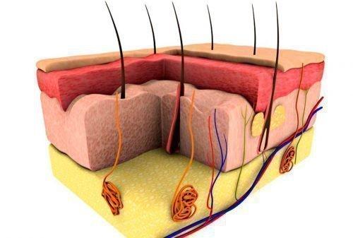 Сальные железы под кожей