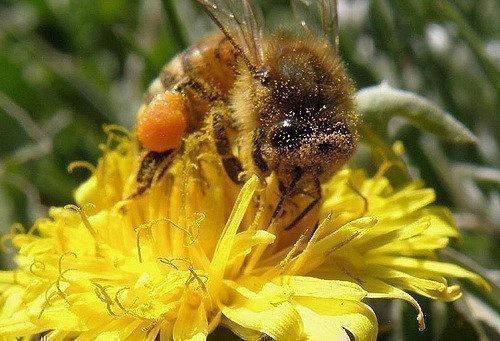 Пыльца растений