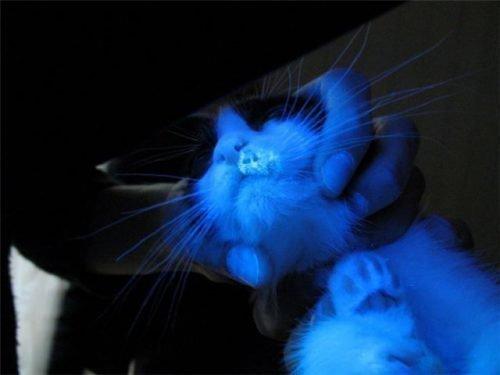 Кот под лампой Вуда