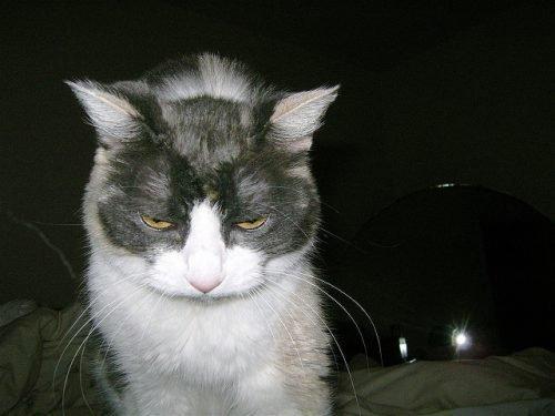 Кот с лишаем